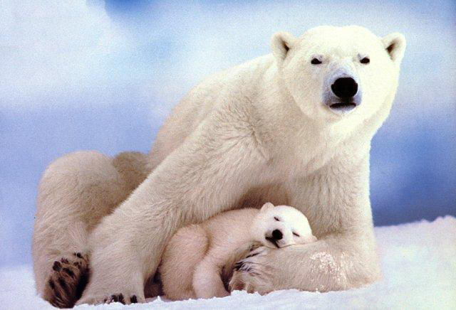 polar_bears-mom_n_sleepingbaby