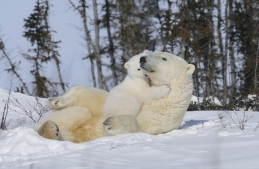 polar-bear-mom-and-cub
